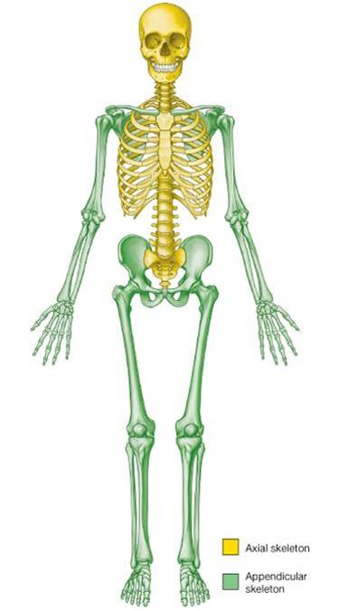 Axial and Appendicular Skeleton - Len Academy